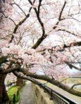 足羽川の桜
